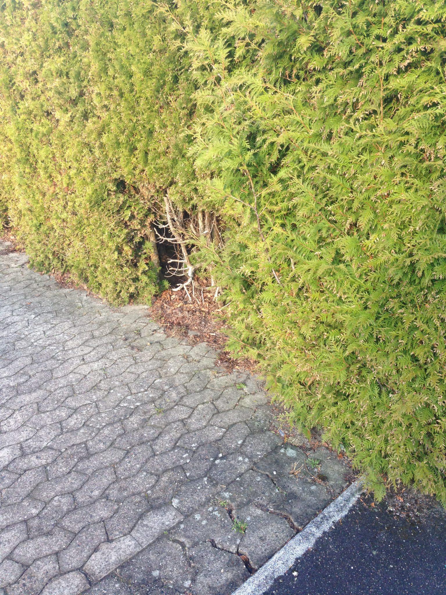 Beskæring af Thuja hæk - Det' Havemanden